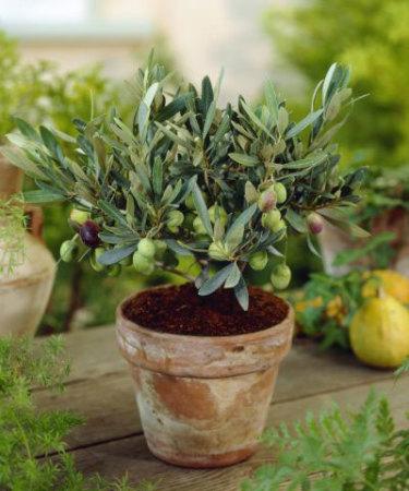Olivträd i lerkruka ger precis rätt Medelhavskänsla.