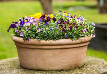 Minipenséer i en färgglad blandning Foto: Floradania