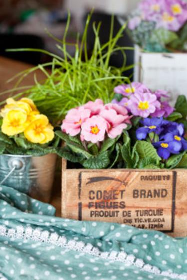 I en trälåda kan du stoppa ner primulor i olika färg för en härlig trädgårdskänsla. Foto: Blomsterfrämjandet/Minna Mercke Schmidt