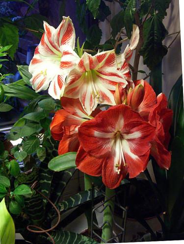 Vackra amaryllisarna 'Stern van Holland' och 'Sydney'  tillsammans. Foto: Sylvia Svensson