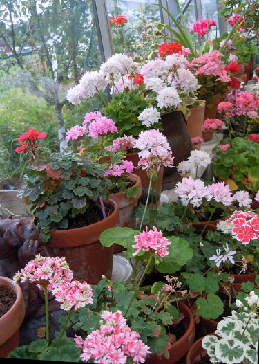 Krukodling av pelargoner i växthus. Foto: Sylvia Svensson