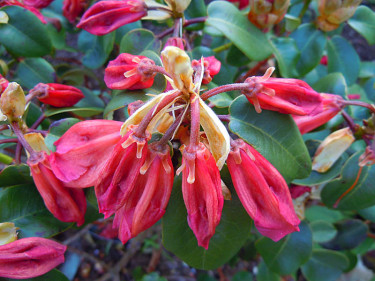 Frostskadade rododendronknoppar.