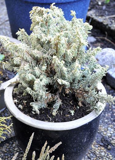 Det är tyvärr ajöss med många av de känsligare växterna i kruka.