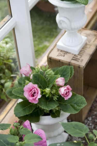 Gloxinia, _Sininngia speciosa_. Foto: Blomsterfrämjandet.