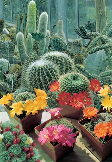 Kaktus, _Cactus ssp_., 'Mixed Varieties'. Foto: Mr Fothergill's