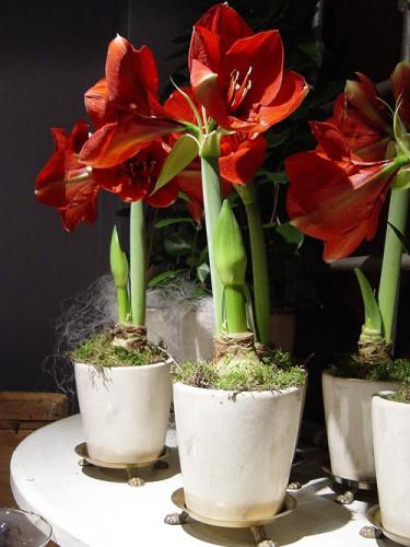 Amaryllis, _Hippeastrum_. Foto: Blomsterfrämjandet.