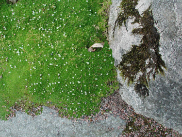 Trampnarven är låg och tätt mattbildande. Foto: Sylvia Svensson