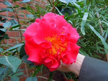 _Camellia x reticulata_ 'Dr Clifford Parks' En liten planta med jätteblommor! Foto: Sylvia Svensson