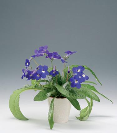 Kornettblomma, _Streptocarpus hybrid_.