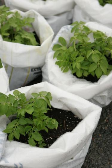 Odla i säck är snyggt och praktiskt.