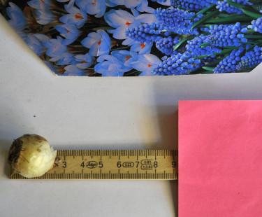 Smålökar är ca 2-3 cm höga, planteringsdjup 6-9 cm.