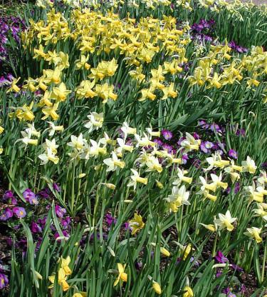 Små påskliljor i slutet på april.