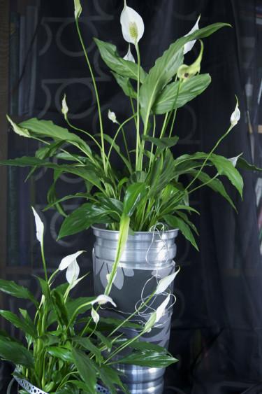 Fredskalla, _Spathiphyllum wallisii_. Metallbandsdekor.