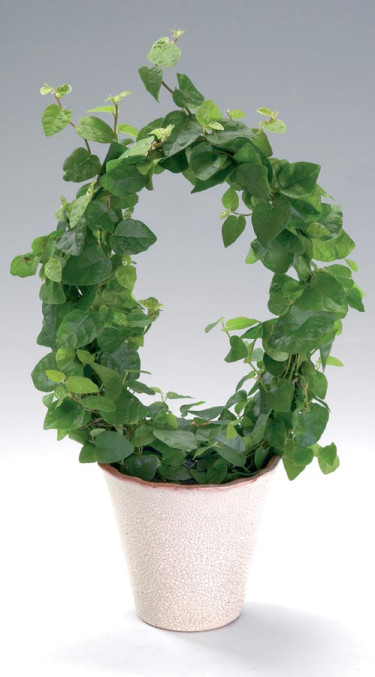 _Ficus pumila_, **klätterfikus**