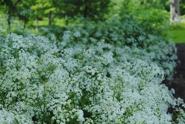 I frisk och fuktig mark trivs hundloka _Anthriscus sylvestris_.