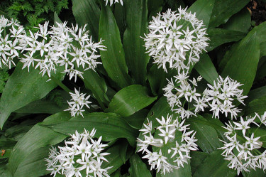 **Ramslök**, _Allium ursinum_. Foto: Sylvia Svensson