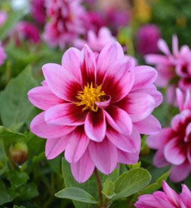 Dahlia. Foto: Blomsterfrämjandet