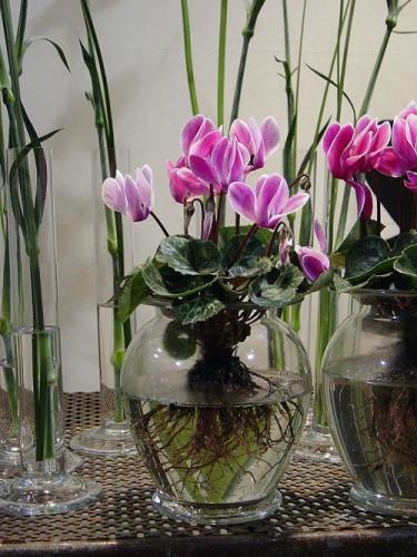 Cyklamen i glas. Foto: Blomsterfrämjandet.