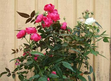 Ros, _Rosa_ 'Morsdag', rosa och vit.