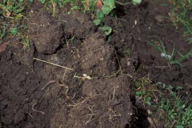 I en gammal gräsmatta med sand som mineraldel finner man den ideala odlingsjorden. Den faller sönder fint och är mullrik. Maskar jobbar oförtrutet med att gör gångar som leder ner syre till rötterna. Foto: Miljöbild, Bertil Dahlby.