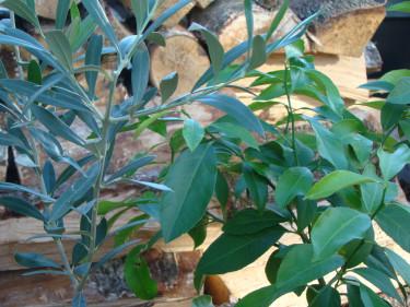 Mitt lilla oliv- och citronträd står än så länge kvar i det ouppvärmda växthuset, men det varnas för frostnätter så snart ska i alla fall citronen plockas in och få extra belysning, regelbundna duschar och lätt vattning hela vintern.