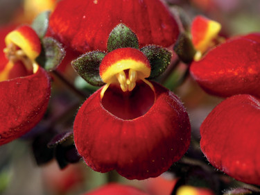 Närbild på den vackra toffelblomman, _Calceolaria_ 'Calynopsis'.  Foto: Blomsterfrämjandet/Selecta