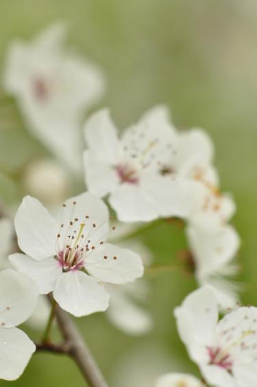 Körsbärsplommon i blom. Foto: Lars Forslin