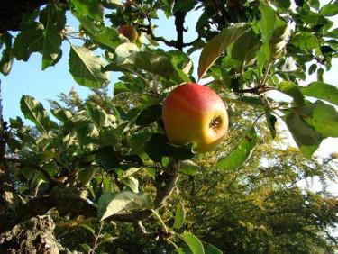I min trädgård finns några lyckligt pensionerade äppelträd som bara beskärs när skadade grenar behöver gallras bort.
