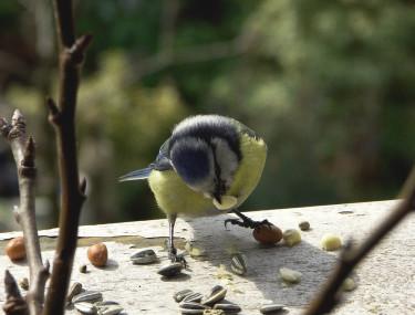 En rar liten blåmesunge spisar frön och nötter. Foto: Sylvia Svensson