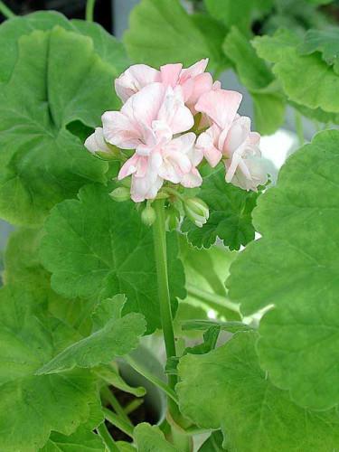 """Den växt som mest förknippas med Karins förmak är nog pelargonen 'Sundborn', en """"mårbackapelargon""""."""