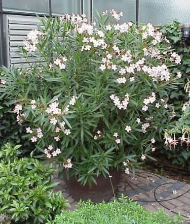 Vit oleander, _Nerium oleander_.