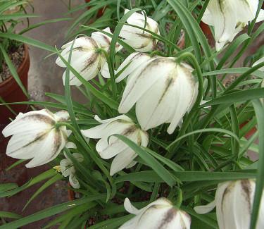 _Fritillaria meleagris_ 'Alba'. Foto: Bernt Svensson