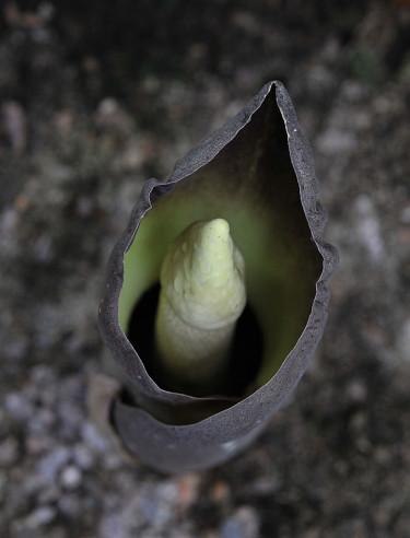 _Amorphophallus paeoniifolius_. Foto: Bernt Svensson
