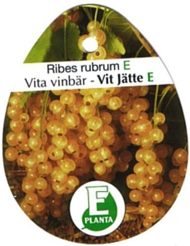 Vita vinbär 'Vit Jätte'. Foto: E-planta