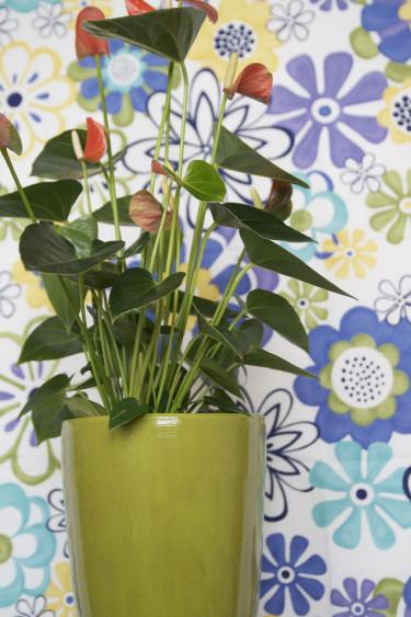 Rosenkalla, _Anthurium Andraeanum_-Gruppen i grönt.
