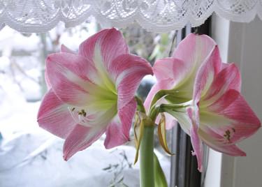 Min mamma hade magnifika amaryllisar. Jag försöker vårda mina lika ömt! Här 'Apple Blossom'. Foto: Sylvia Svensson
