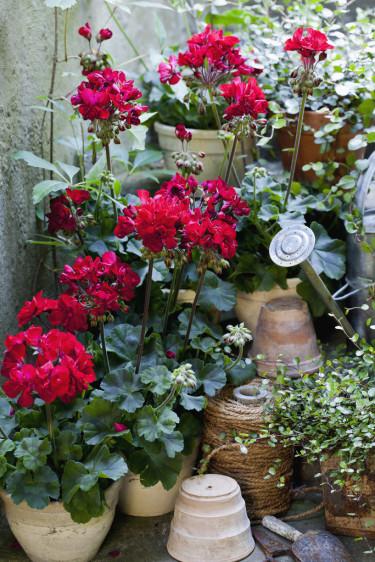Pelargon 'Velvet Red'. Foto: Blomsterfrämjandet/Annika Christensen