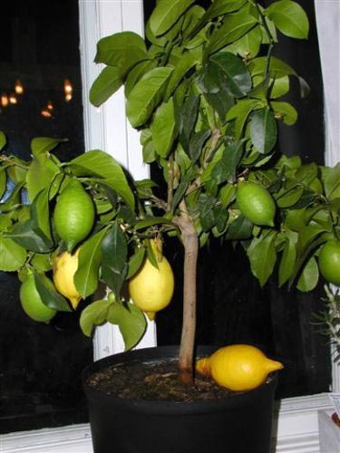 Citronträd.