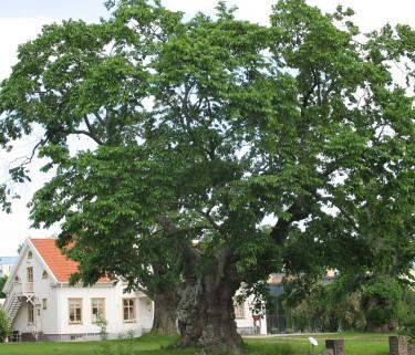 Sockerdricksträdet och prästgården