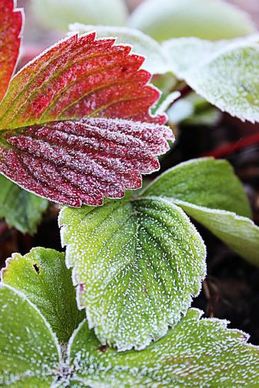 Jordgubbsblad som frosten har nupit i blir rena konstverken. Foto: Helena Linell