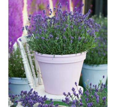 Lavendel, Lavandula 'Aromatica Blue' Foto: Blomsterfrämjandet