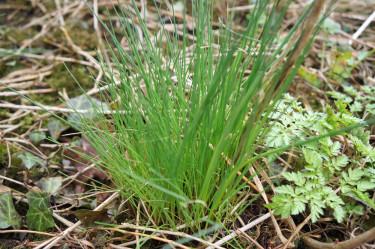 Vild gräslök hittar man lite här och var i naturen. Den har en intensiv smak.