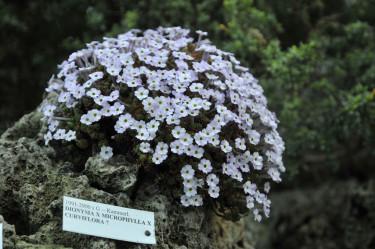 D. x microphylla x curviflora i kalkstentufa.