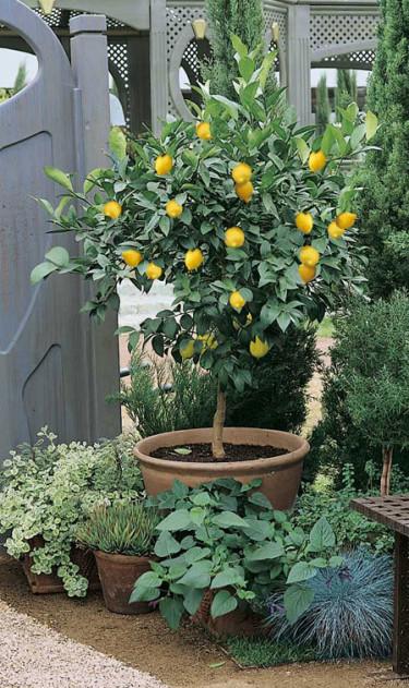 **Citron**, _Citrus limon_.