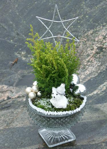 Så kallade julenar kan få ett fortsatt liv i trädgården. Här Chamaecyparis 'Plumosa Aurea'. Foto: Sylvia Svensson