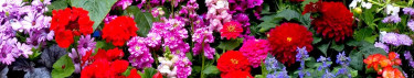 Lättodlade Blomsterfröer