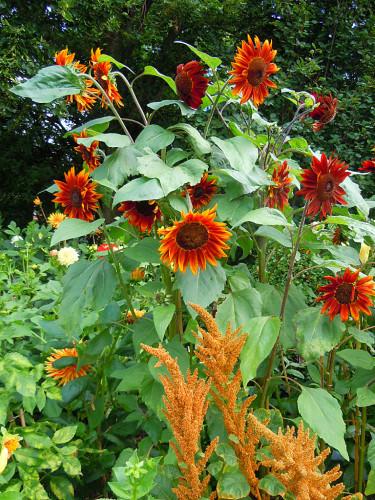 Solros _Helianthus annuus_ 'Prado Red' och blodamarant _Amaranthus cruentus_ 'Hot Biscuit'. Dahlian på bilden heter 'Striped Vulcano'. Foto: Sylvia Svensson