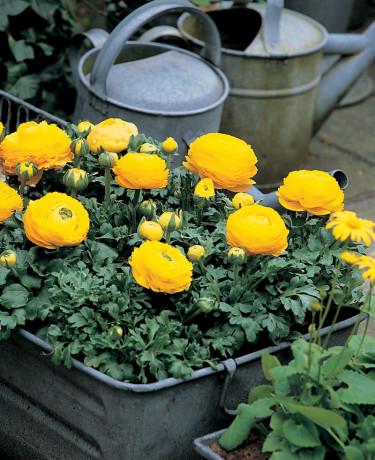 Ranunkel, _Ranunculus asiaticus_ i zinklåda. Foto: Blomsterfrämjandet.