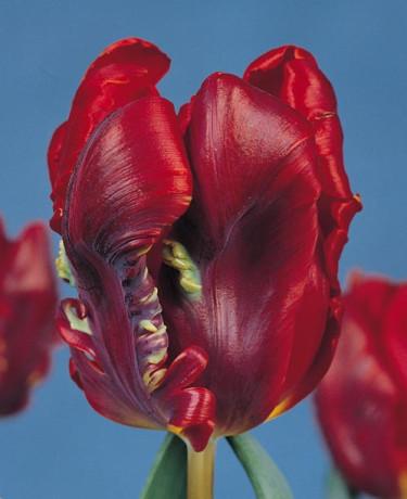 Alla Hjärtans Tulpaner bland mat och kastruller. Tulpan 'Rococo'.