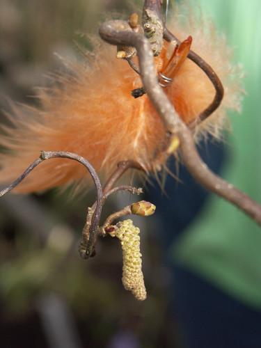 """Allra enklaste """"påskris"""" kanske är att binda fast några fjädrar i buskarna, som här i trollhasseln Foto: Bernt Svensson. Arr: Sylvia Svensson"""